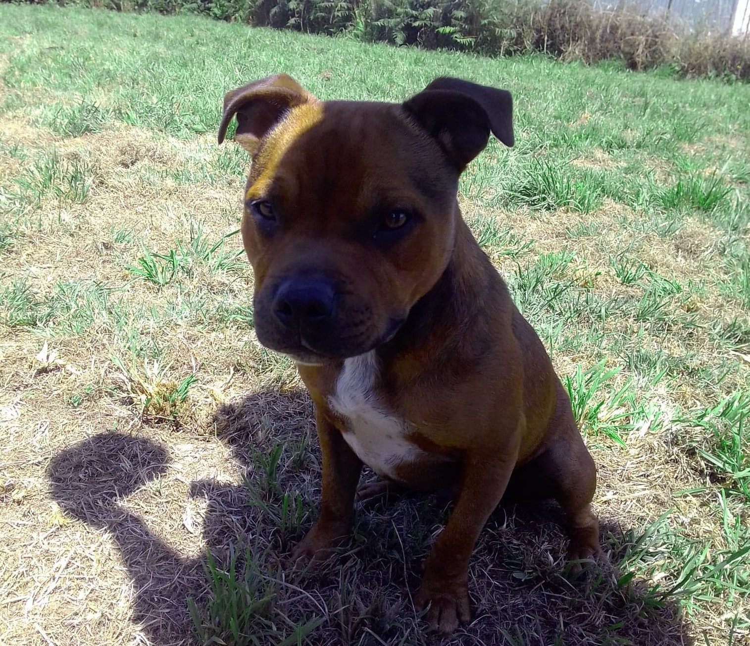 Pegase Male 16 Mois En Cours D Adoption Staffie Rescue France